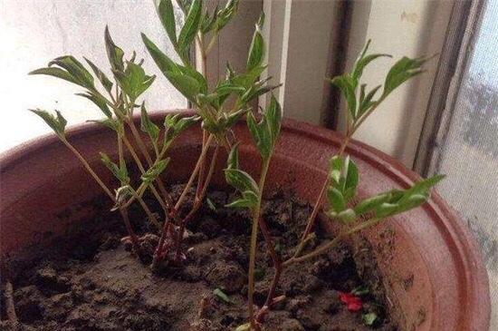 芍药花从种子到开花怎么养?插图(3)
