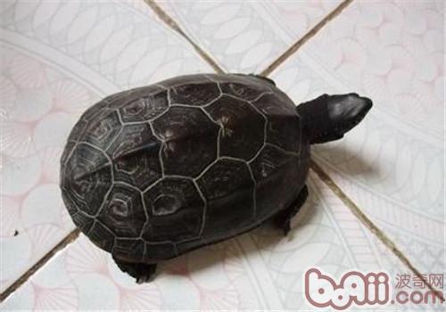 中华草龟的护理知识有哪些?