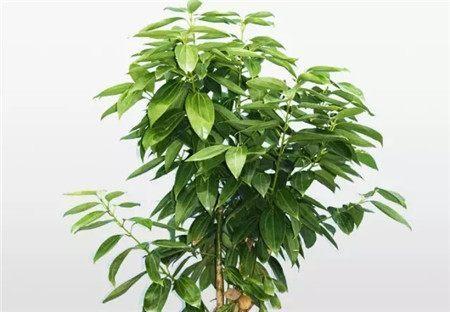 平安树怎样才能平安生长,确保枝叶不枯、不黄、油绿发亮?