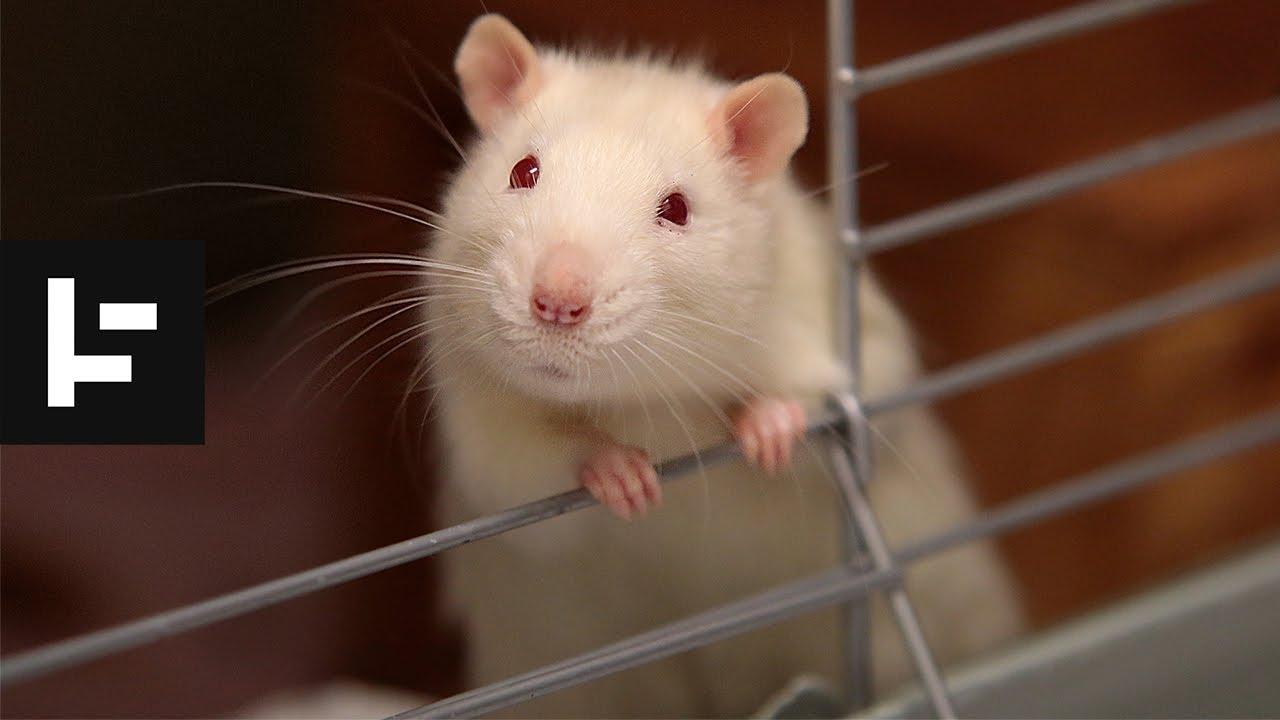 """俄罗斯惊现诡异""""鼠王"""",5只老鼠尾巴交缠打死结,专家无法解释"""