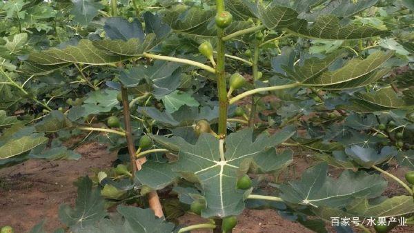 无花果生长及需肥特性介绍让你更懂如何施肥?