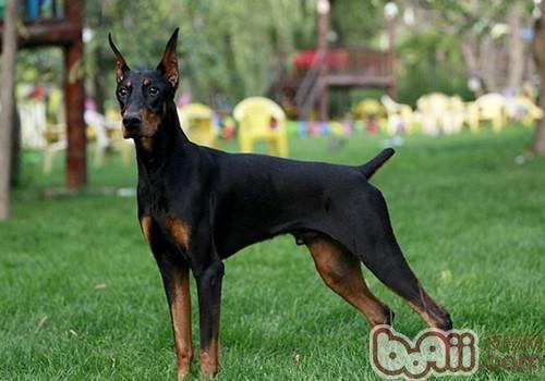 有杜宾犬在家怎么养?