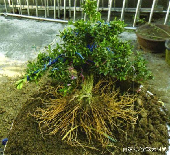 雀舌黄杨小盆景怎样制作?