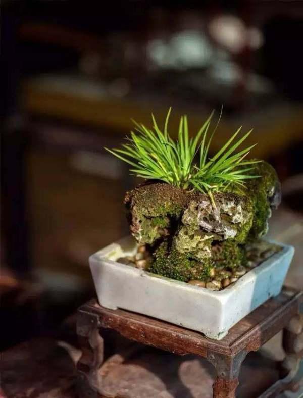让文人一见钟情的菖蒲盆景,如何安全度夏?
