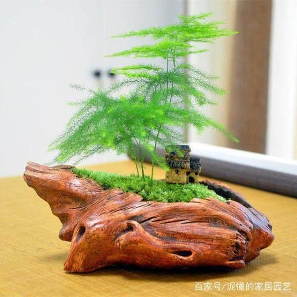 文竹养得好,也能长个2米高,看看怎么浇水的,蹭蹭长不停?