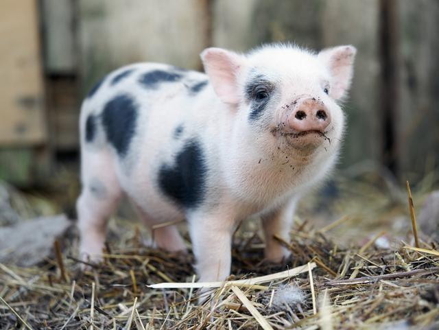 猪价跌跌不休,猪企全面亏损,未来走势如何?