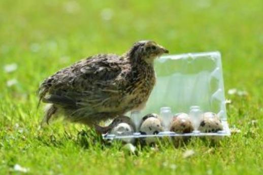 鹌鹑蛋味道很好,家养的鹌鹑也会下蛋吗?