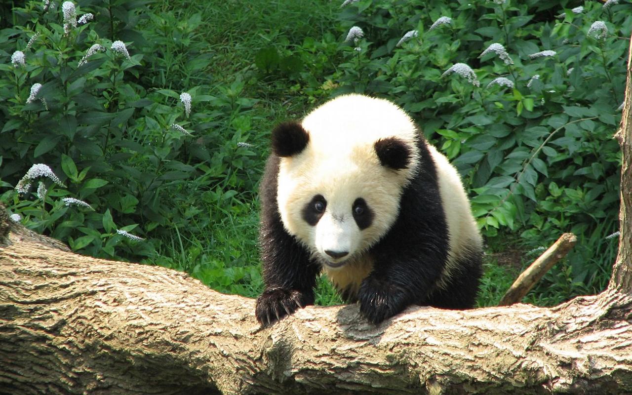 """大熊猫被""""降级"""",保护力度会下降吗?熊猫又有哪些新危机?"""