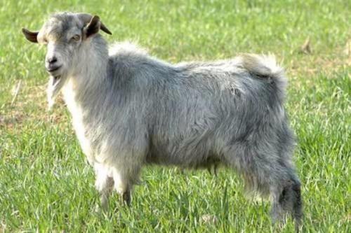 """为什么有些农村人说""""养羊赚不了大钱""""?"""