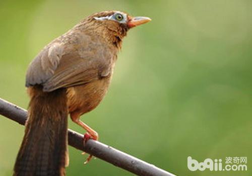 画眉鸟会出现哪些不良行为?