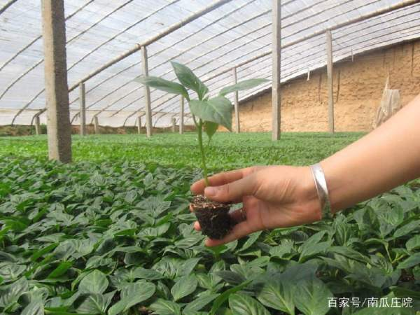 辣椒如何培育壮苗?