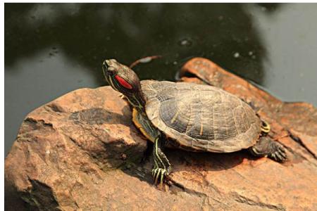 怎样养巴西龟?