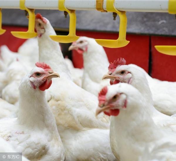 为什么有养鸡场却没有养狗厂?