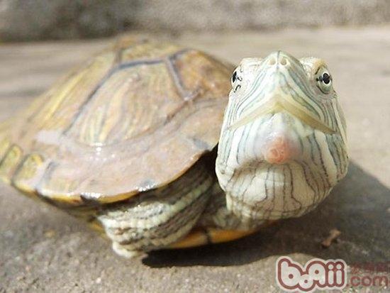 巴西龟白眼病有哪些表现?