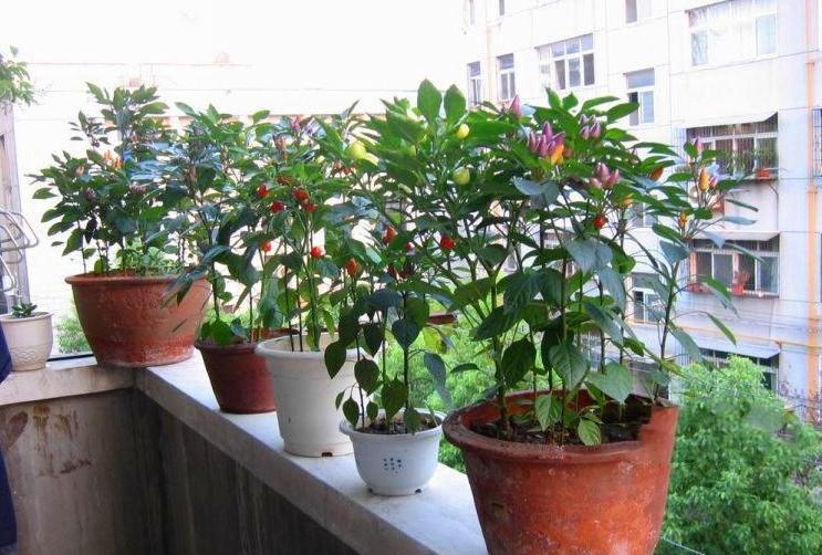 """蓝妖:台风""""烟花""""来袭,早做这些准备,盆栽花卉避免枯萎"""
