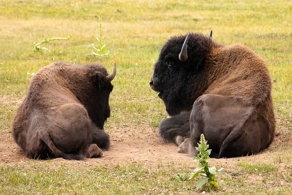 体重达一千公斤!1941年宣布灭绝的北美森林野牛,又出现了?