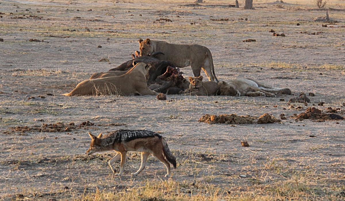 为什么说黑背胡狼的生存手段很高超?