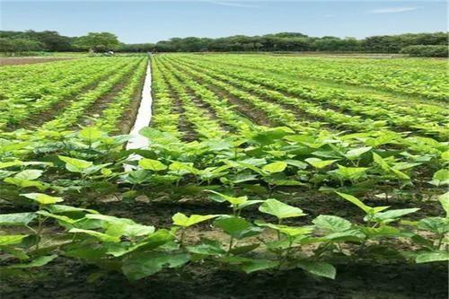 都说果树秋施基肥很重要,该怎么施用才能达到最佳效果?