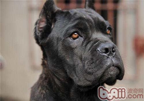 卡斯罗犬是什么品种?