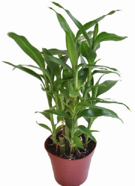 新买的富贵竹怎样生根?