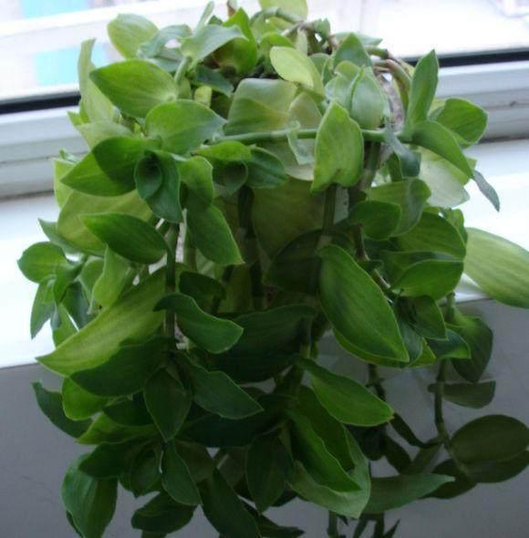 吊兰叶片会折断,春天到底该怎么养?