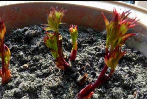 芍药花从种子到开花怎么养?插图(2)