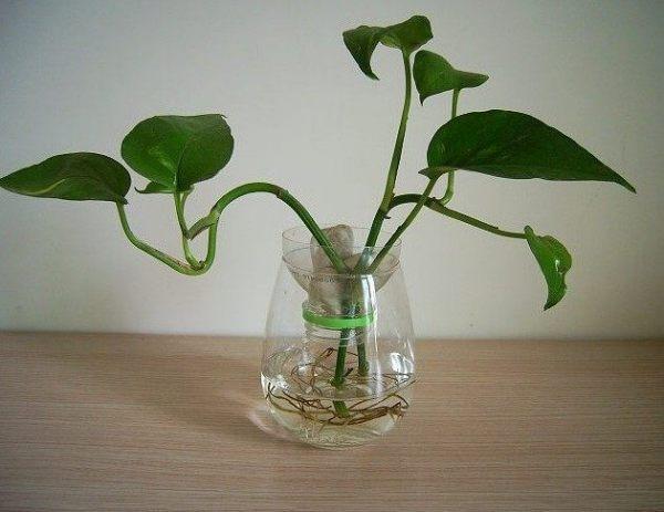 水培绿萝怎样才会生长旺盛?