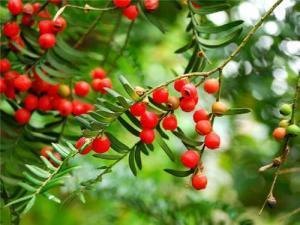 红豆杉在种了多少年才能成材?