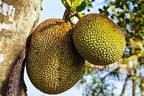 脆甜的菠萝蜜,培育的方法是很关键的,应该怎样去采摘?