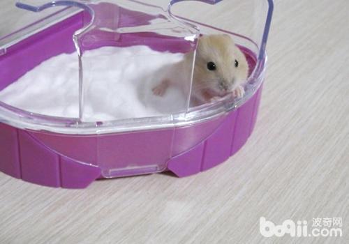怎么帮仓鼠洗澡?