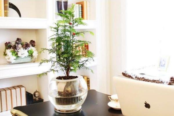 红豆杉怎么水培?