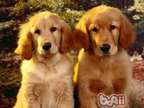 金毛犬有看家本领吗?