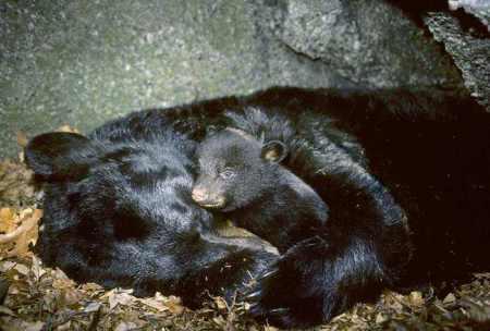 熊为什么要冬眠?冬眠的熊有自保能力吗,遇到老虎该怎么办?