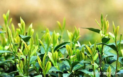 泡绿茶的正确方式是什么?