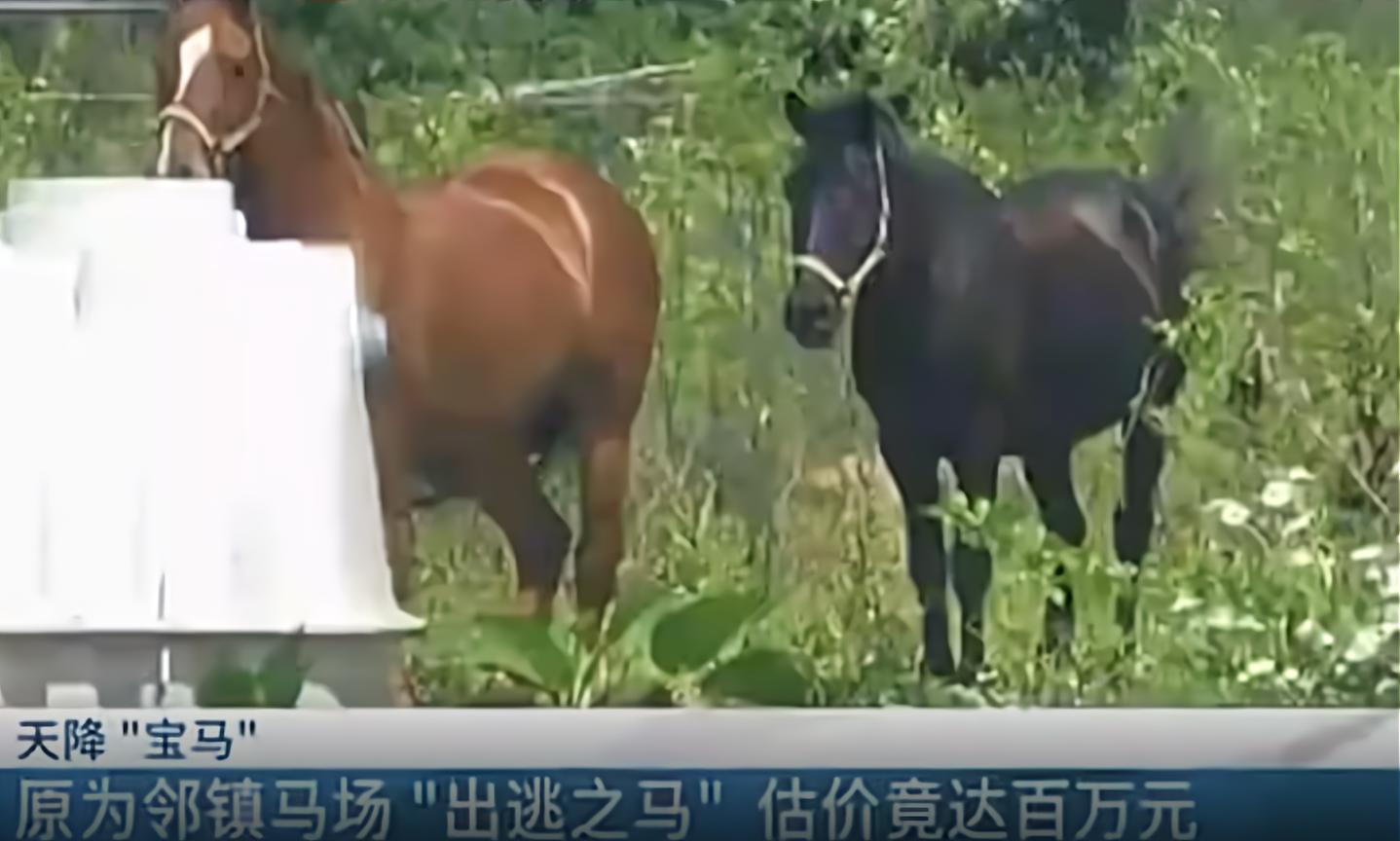 又是动物出逃!2匹总价值达百万马偷吃玉米被抓,是什么马这么贵