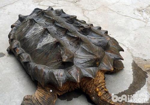 鳄龟的易患病有哪些?