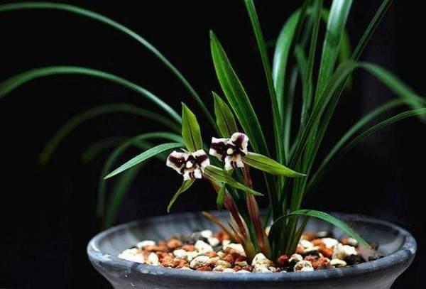 娇生惯养的兰花怎么浇水?