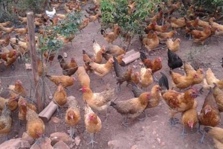 乡村土鸡散养场该怎样建立一套比较完善的产品溯源信息展示方案?