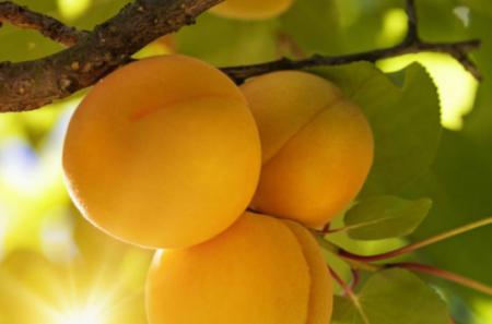 最好吃的杏排名是怎样的?