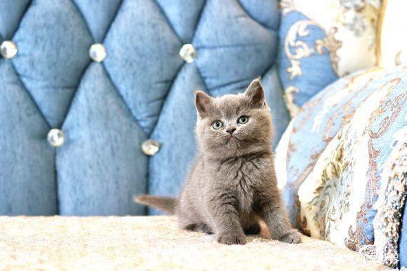 英短蓝猫买的时候注意些什么,怎么鉴定是纯种?