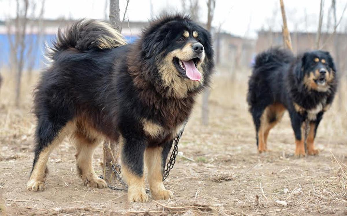 藏獒祖先与狼交配,获得了哪些优势?