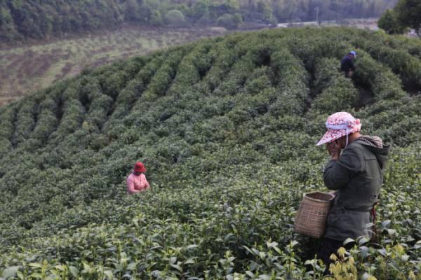 靖安白茶生产情况的介绍