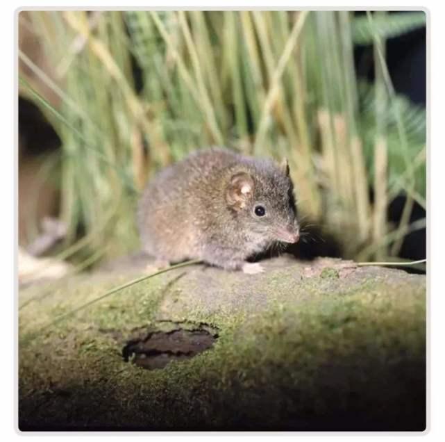 交配时间最长的动物是什么?疯狂交配的袋鼩,为啥活不过发情期?