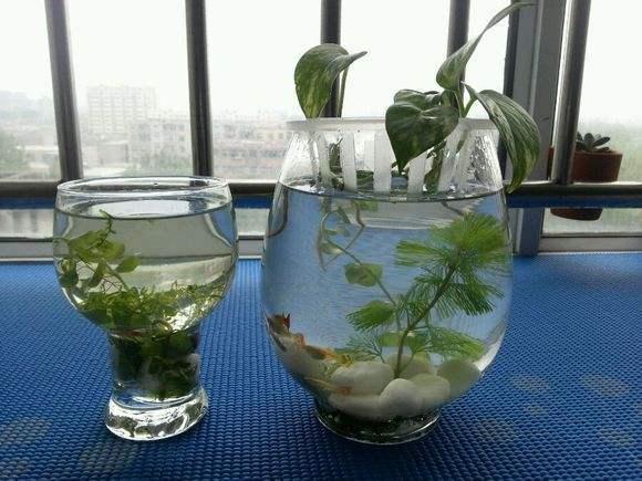 水培绿萝能和鱼一起养吗?