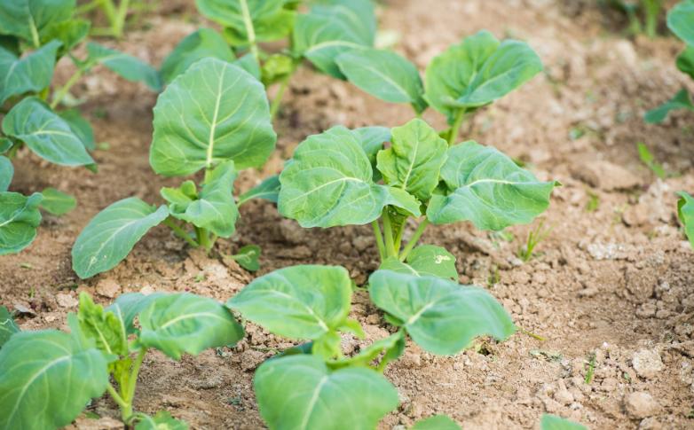 农村粪水浇种的蔬菜,究竟能不能吃?
