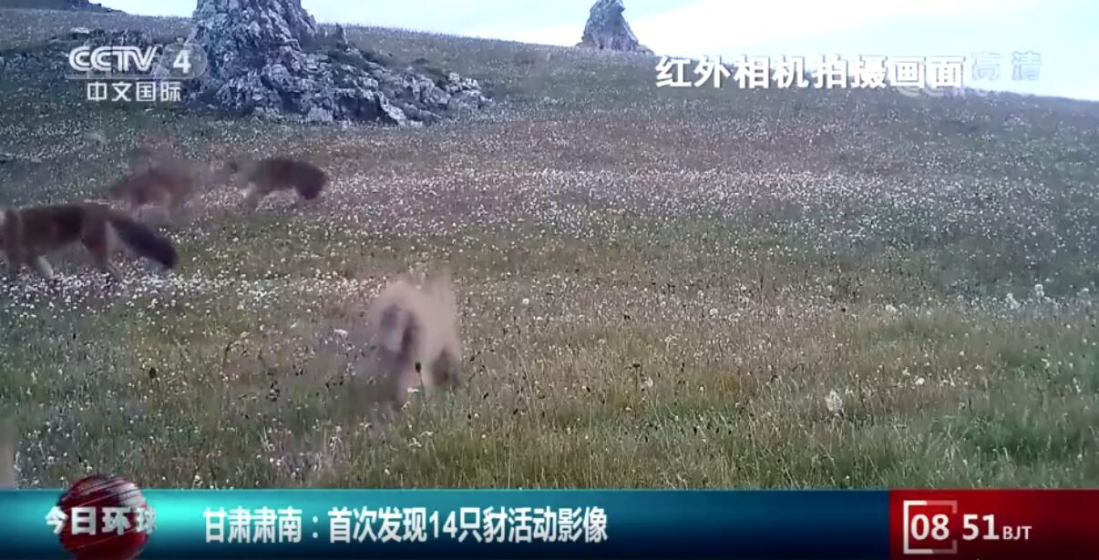 一次拍14只!甘肃张掖肃南首次发现大规模豺群,它攻击力多强?