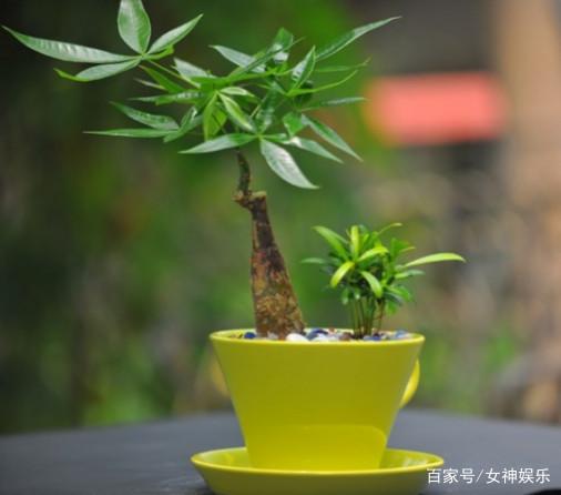 发财树为什么会烂根?