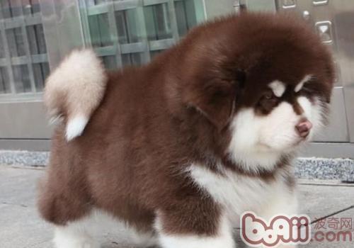 怎样训练阿拉斯加狗?