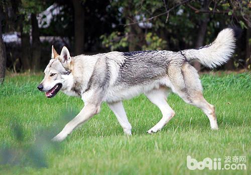 捷克狼犬是什么品种?