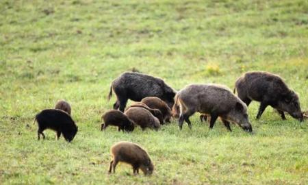 中国野猪局地泛滥,不敢打,防不住,人猪矛盾升级,如何处理?